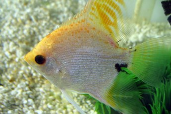 Are Angelfish Okay to Mix With Goldfish?