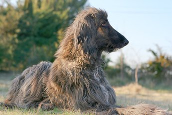 How to Keep an Afghan Hound