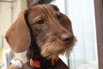 History of the Wire Hair Dachshund