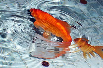 A fantail goldfish is distinguished by its long, flowing tail.