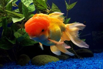 Good goldfish husbandry will help your fish live a long, healthy life.