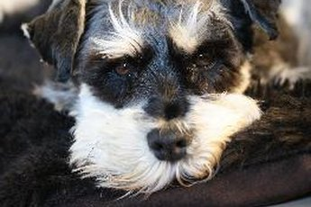 How to Stop Your Miniature Schnauzer From Chewing