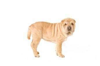 Shar-pei: cuddly creature or aggressive Cujo?