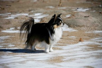 A long-haired Chihuahua may have a very full coat.