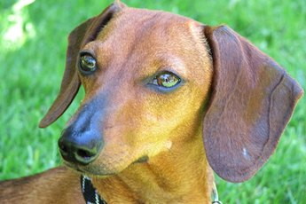 Behavioral Traits of Dachshunds