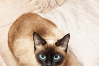 Siamese and Tonkinese cats are known as affectionate pets.