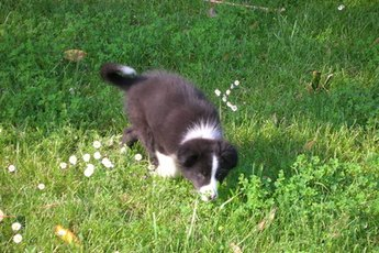 Border collies start practicing their characteristic herding behaviors early in life.