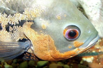 Oscars are freshwater dwellers originating from the warm waters of South America.