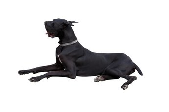 The Medical Problems in Great Danes
