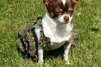 Keep your Chihuahua healthier by spaying her.