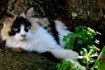 Almost all calico cats are female.