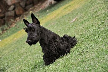 You can blow-dry your Scottie before letting him outdoors.