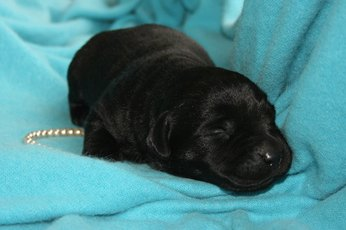 How to Train a Black Lab Puppy to Stop Barking