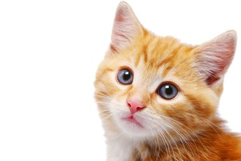 Brown Ear Wax Buildup in Cats
