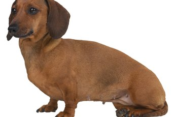 Dog Eye Problems in Dachshunds