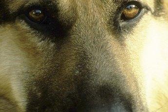 Bone Spurs in German Shepherds