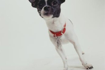 There's a lot to know and love about the tiny Chihuahua.