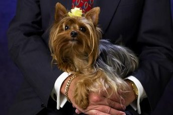 Yorkies differ in size, but only one breed remains.