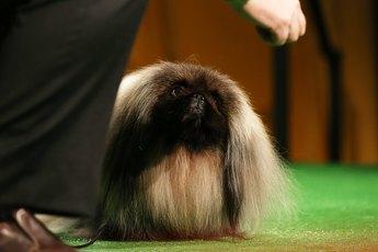 Pekingese Hairstyles