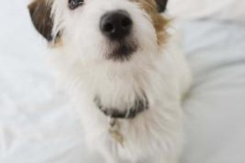 A little extra grooming will keep your wire-haired Parson Russell terrier's coat in top form.