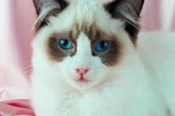 Like any purebred cat, ragdolls can experience genetic health issues.