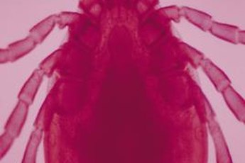 Adult deer ticks are only a fraction of an inch long.