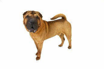 Aggression Issues in Shar-Peis