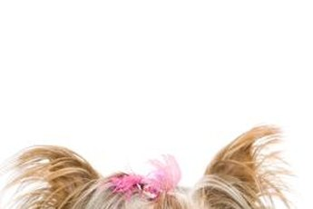Yorkshire terriers are vibrant and independent small dogs.