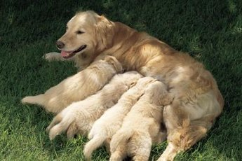 Mother dogs stop carrying their puppies once the puppies are old enough to walk around on their own.