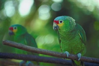 Blue-fronted Amazon parrots are hardy birds, but they require a balanced diet in captivity nonetheless.