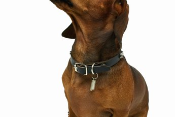 Do Dachshunds Have an Odor?