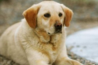 Your Labrador's pregnancy is divided into three trimesters, each lasting 21 days
