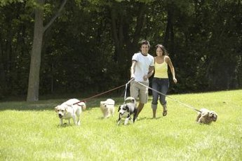 Small dogs with collapsing trachea may cough uncontrollably when pulling on a leash.