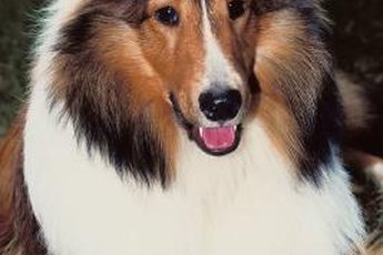 Shelties and cats can happily share a home.