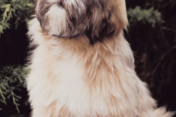 Lhasa Apso Hairstyles