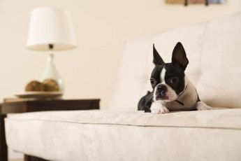 A snuggle may be all your Boston terrier pal needs to cure his shivers.