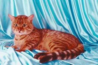 Domestic Bengal cats trace their ancestry to Asian leopard cats.