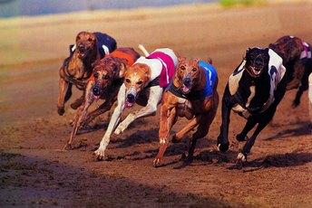 Rhabdomyolysis In Greyhounds