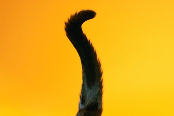 What Is the Meaning of Cats Switching Their Tails?