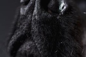 Curly-coated retrievers are known for their long whiskers.
