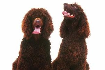 If these chocolate poodles are constantly itching, find the reason.