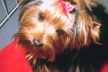 Yorkie Terrier Cage Training