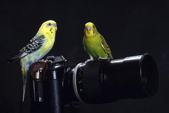 Companionship could ease your parakeet's aggressive behaviors.
