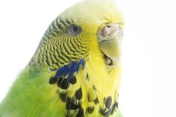 How to Stop a Budgie from Biting