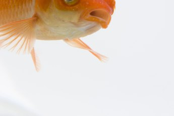 What Is the Average Life Span of a Goldfish with Proper Care?