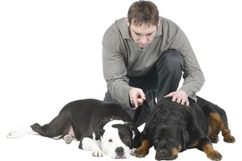 How to Adopt a Female Rottweiler Into a Multi-Dog Home