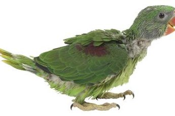 Feather plucking has numerous causes and can cause permanent feather damage.