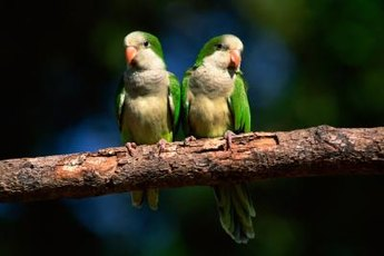 Quaker parrots are also known as monk parakeets.