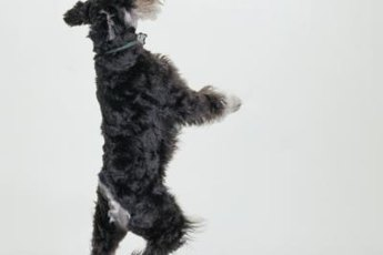 With or without a tail, the schnauzer is an athletic dog.