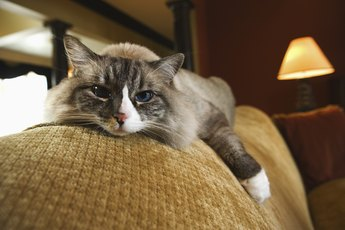 End Stage Lymphoma in Cats
